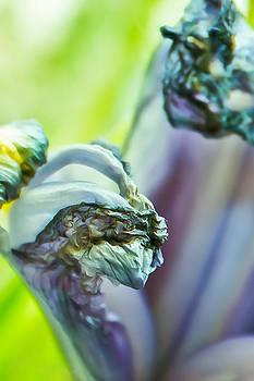 Elvira Pinkhas - Abstract Iris in Blue