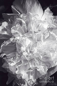 Abstract Peony by Cindi Ressler