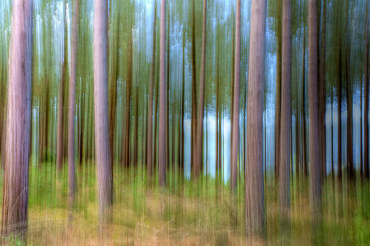 Abstract Pines by Trevor Wintle