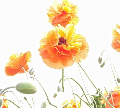 Abstract Poppies by Cynthia Templin