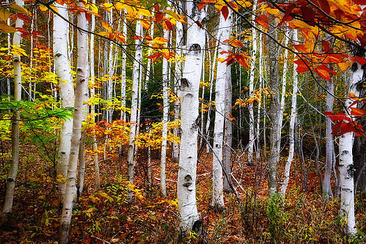 Acadia white birch trees by Dick Wood