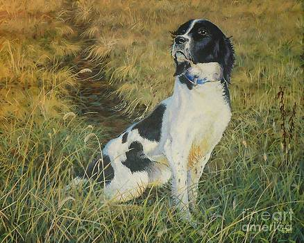 Ace - Field-bred Springer Spaniel by Phillip  Powell