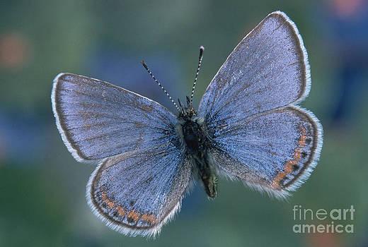 Kjell B Sandved - Acmon Blue Butterfly Plebejus Acmon