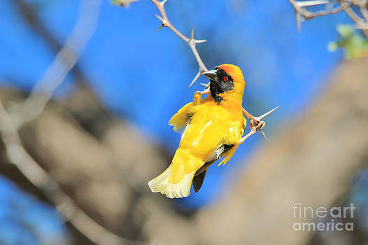 Hermanus A Alberts - Acrobatic Golden Weaver Fun