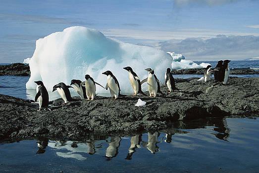 Colin Monteath - Adelie Penguins Coming Ashore Antarctica