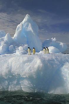 Colin Monteath - Adelie Penguins On Iceberg Antarctica