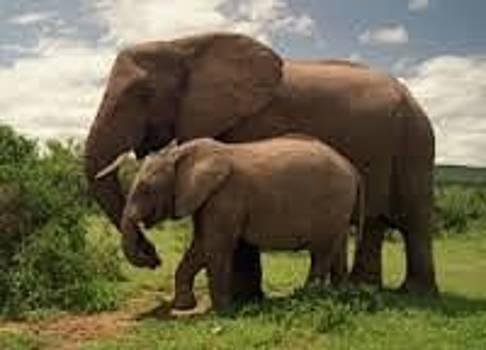 Adeyemi Fawole - Elephhants by ADEYEMI FAWOLE Hamilton Adeyemi Fawole NZ