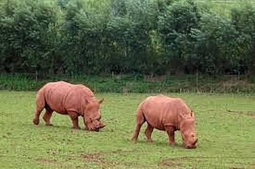 Adeyemi Fawole - Rhinos by ADEYEMI FAWOLE Hamilton Adeyemi Fawole NZ
