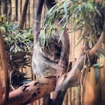 #adorable #koala #monstermarsupial by Danielle McComb
