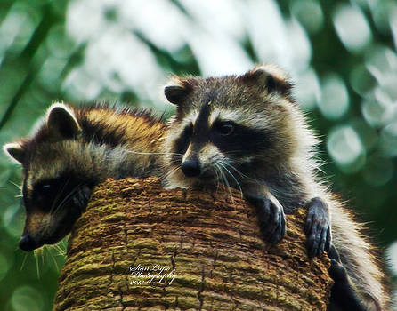 Adorable Raccoon Pups by Stanley Lupo