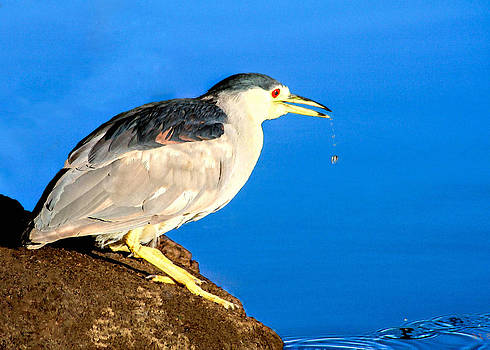 Adult Black Crowned Night Heron by Bob and Nadine Johnston