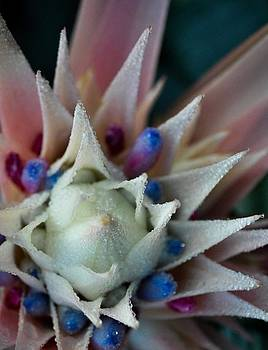 Aechmea 2 by Ken Rutledge
