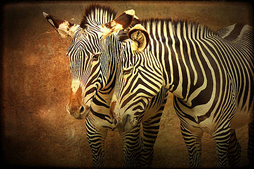 Affectionate Zebras by Cheryl Ann Quigley