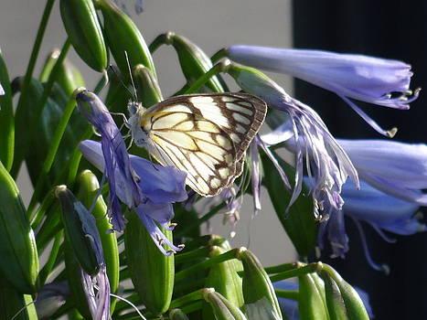 African Caper White Butterfly by Hermien Pellissier
