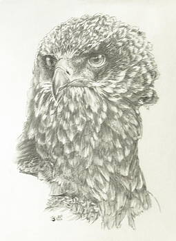 Barbara Keith - African Crowned Eagle