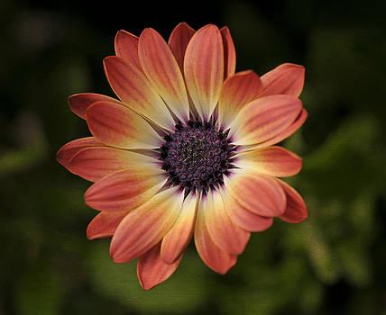 African Daisy - Bicolor Osteospermum by Liz Mackney