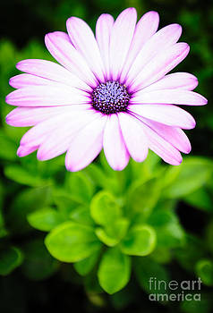 African Daisy by Charles Dobbs