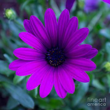 African Daisy by Deanna Proffitt