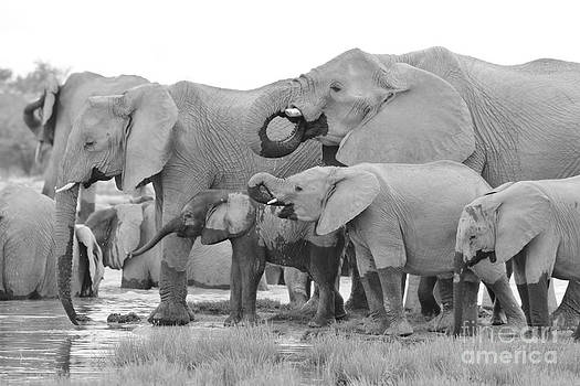 African Elephant - Happy Family by Hermanus A Alberts