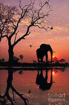 Frans Lanting MINT Images - African Elephant At Dawn