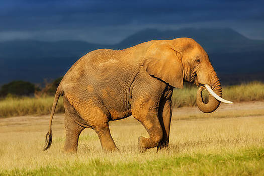 African Elephant eating grass by Maggy Meyer