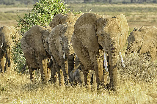 African Elephant Herd by Thomas Chamberlin