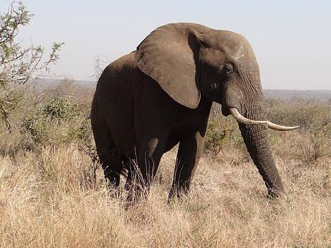 African Elephant by Hermien Pellissier