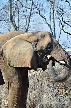 African Elephant by Kathleen Struckle
