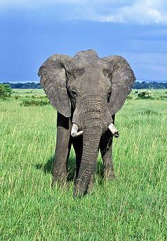 African Elephant by Tina Manley