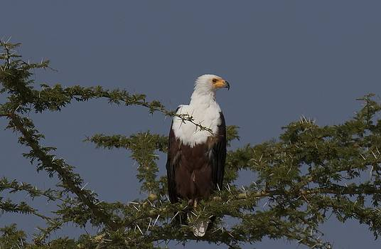 African fish Eagle by Joel Lieberman