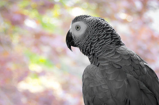 African Grey 3 by Paulina Szajek