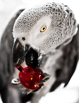 African Grey and Cherry  by Paulina Szajek