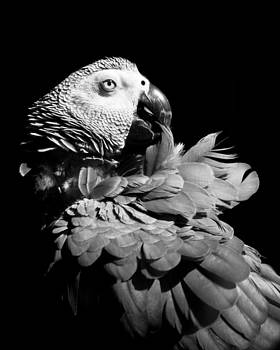 African Grey  by Paulina Szajek