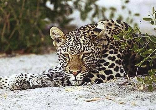 Diane Kurtz - African Leopard