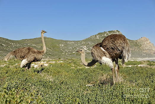 African Ostriches foraging next to beach by Sami Sarkis