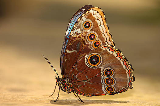 African Owl Butterfly by Fuad Azmat