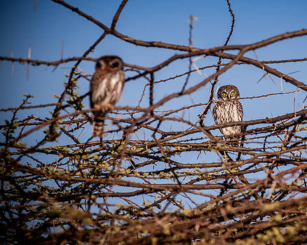 African Owls by Jim DeLillo