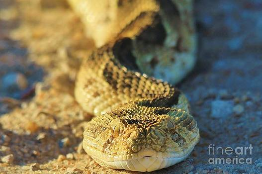 Hermanus A Alberts - African Puff Adder Snake