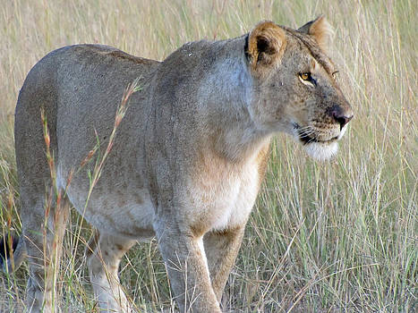 Jeff Brunton - African Safari Lioness