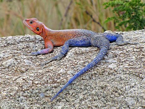 Jeff Brunton - African Safari Lizard