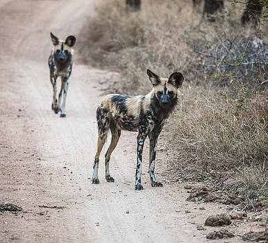 African Wild Dogs by Craig Brown