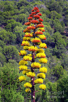 Douglas Taylor - AGAVE FLOWERS