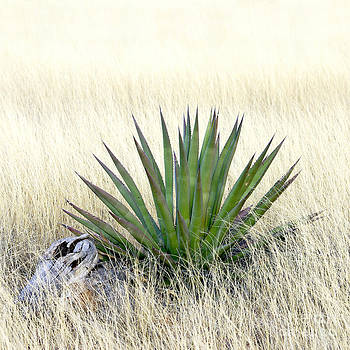 Douglas Taylor - AGAVE IN TALL GRASS - 2
