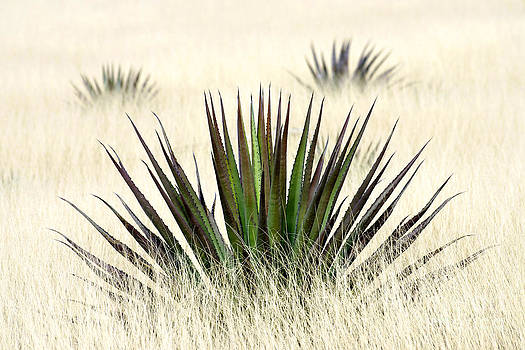 Douglas Taylor - AGAVE IN TALL GRASS