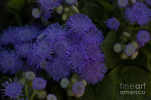 Ageratum Agerato Paying Attention by Debbie Overton