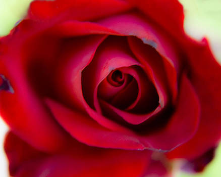 Aging Rose by Kate Johnson