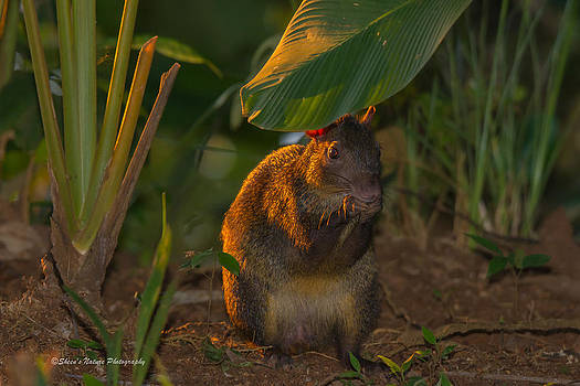 Agouti Cutie by Sheen Watkins