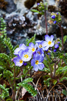 Alaska Spring Flowers by Chris Heitstuman