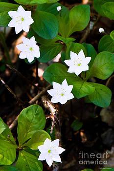 Alaska Wild Flower by Chris Heitstuman