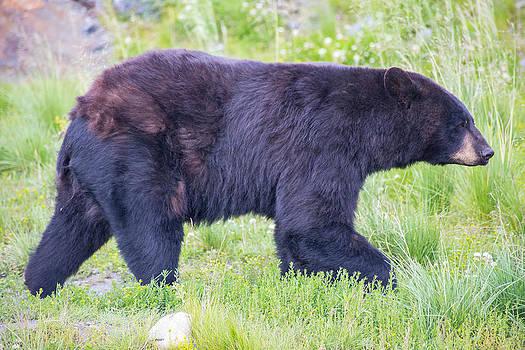 Alaskan Black Bear by Tyler Olson